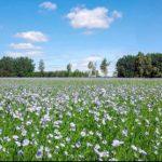 цветение льна голубое поле
